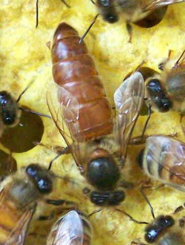 Bees & Beekeeping Supplies – Humboldt County Beekeepers ... - photo#45